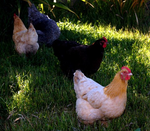 Image result for Police arraign two men for stealing Senator's chickens