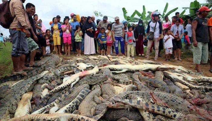 Image result for Villagers kill 292 crocodiles to avenge man's death