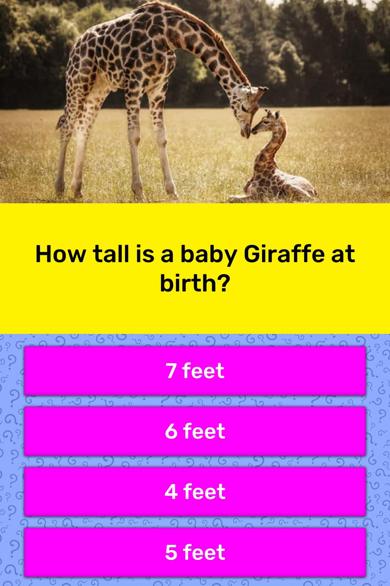How Tall Is A Newborn Giraffe : newborn, giraffe, Giraffe, Birth?, Trivia, Answers, QuizzClub
