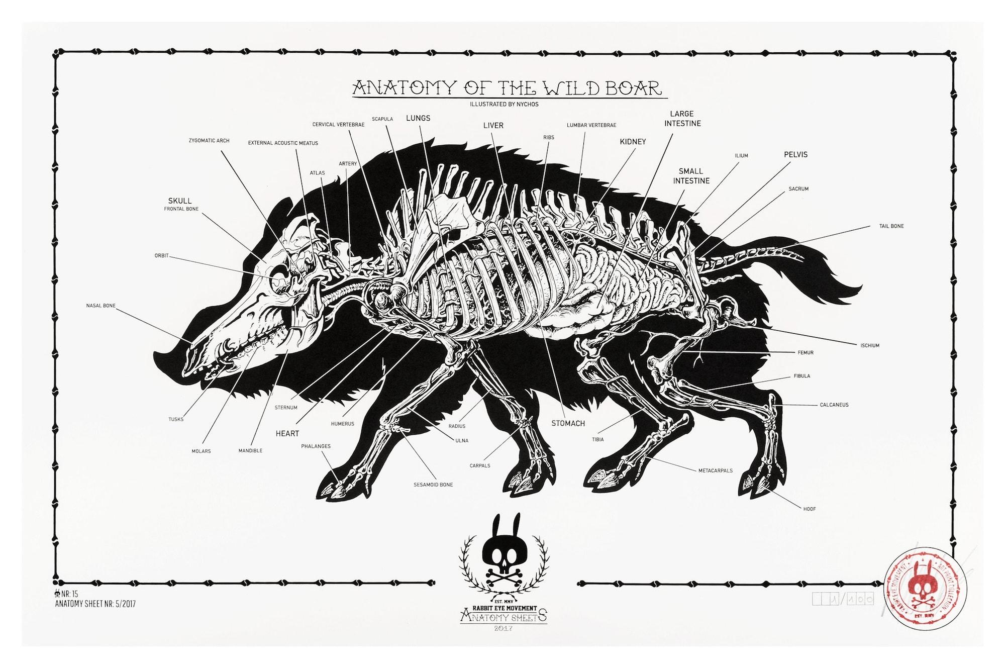 Anatomy Of The Wild Boar Anatomy Sheet No 15