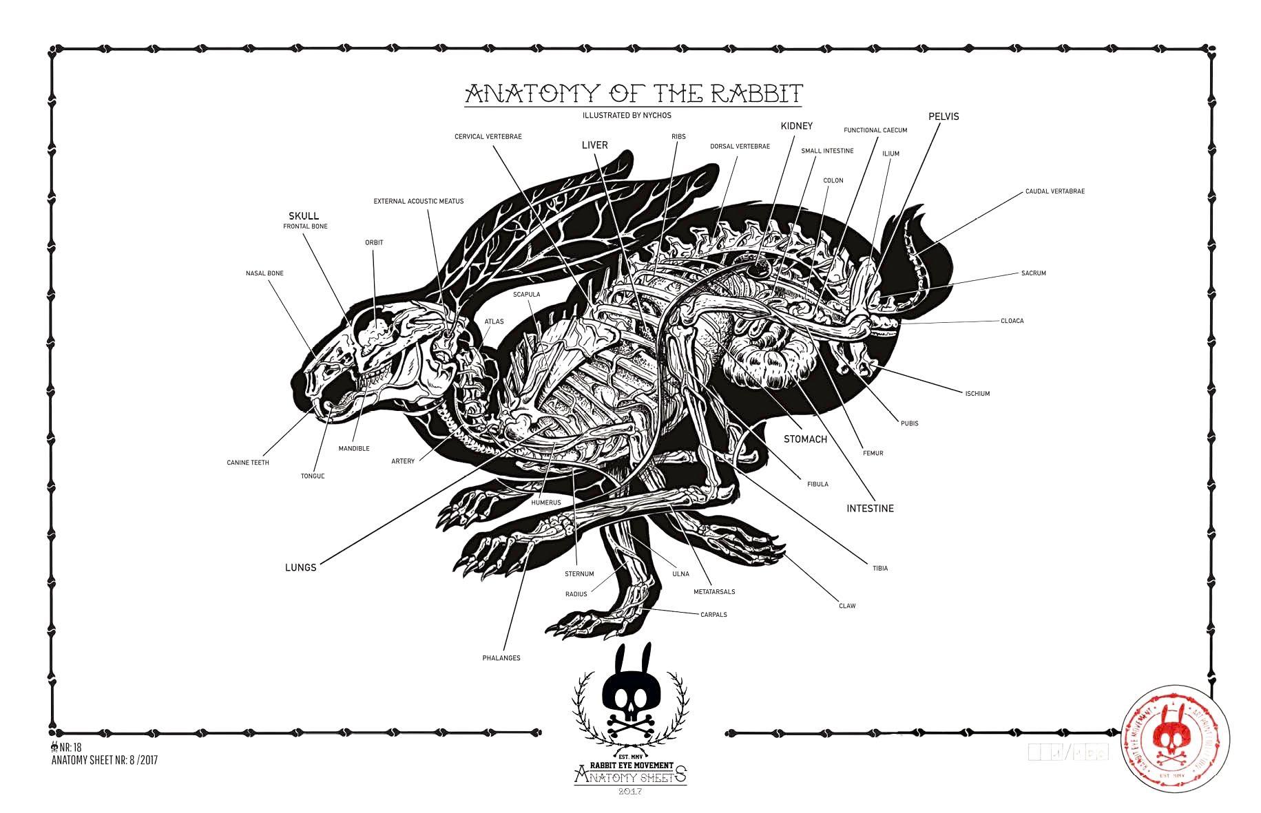 Anatomy Of The Rabbit Anatomy Sheet No 18