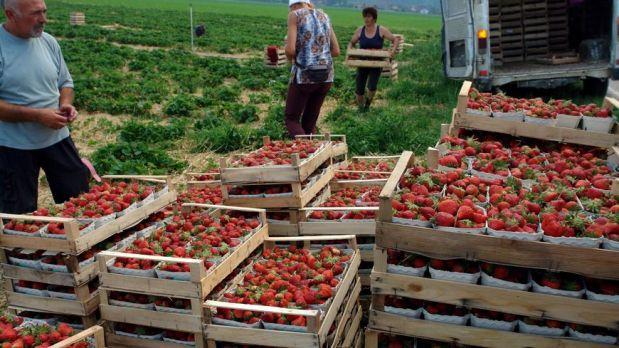 La cueillette des fraises marque le début des récoltes en France.