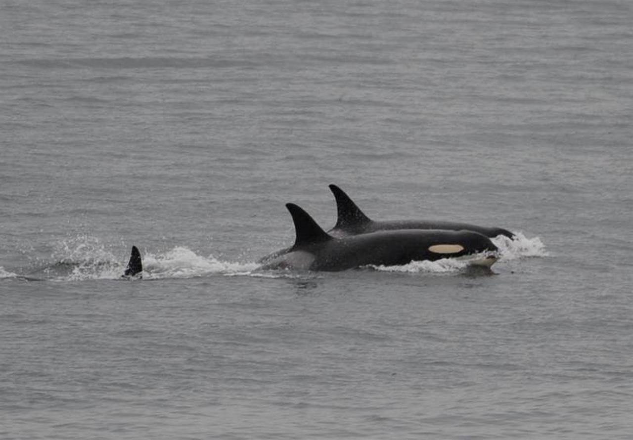 Orca back to feeding, frolicking after carrying dead calf