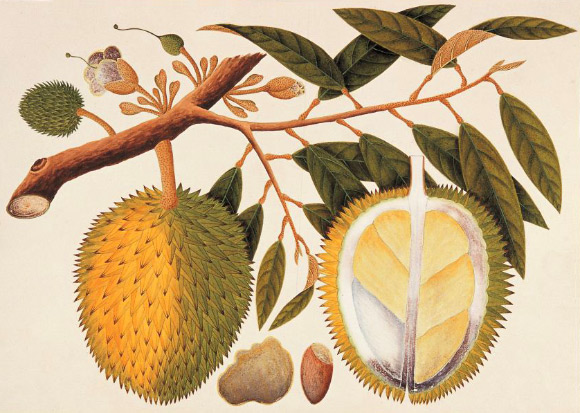 Chemists Identify Key Compounds Responsible for Durian's Pungent Odor