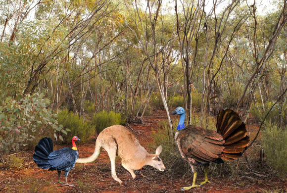A reconstruction of Progura gallinacea (right), alongside a kangaroo and modern bush turkey (Alectura lathami). Image credit: Elen Shute / Kim Benson / Tony Rodd / Aaron Camens