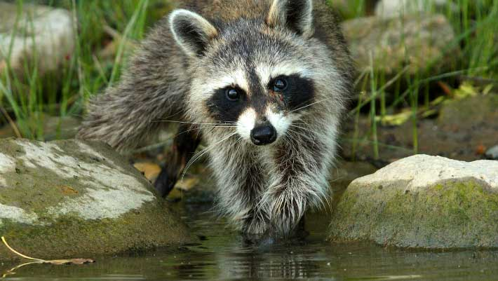 Image result for raccoon photos