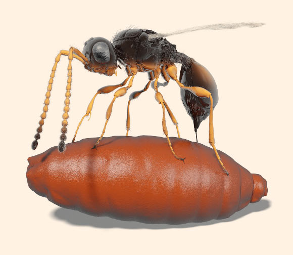 Illustration of a female Xenomorphia resurrecta ovipositing into a puparium. Image credit: van de Kamp et al, doi: 10.1038/s41467-018-05654-y.