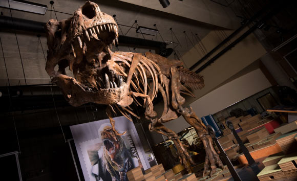 Scotty is the largest dinosaur skeleton ever found in Canada. Image credit: Amanda Kelley.