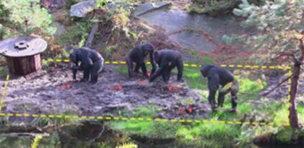 This study was conducted on a colony of chimpanzees (Pan troglodytes) housed at the Kristiansand Zoo in Kristiansand, Norway. Image credit: Motes-Rodrigo et al, doi: 10.1371/journal.pone.0215644.