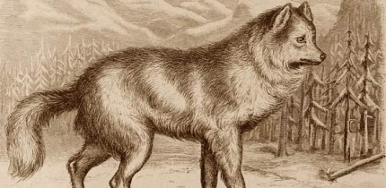 A canid in Cassell's Natural History. Image credit: Peter Martin Duncan / North Carolina State University / NCSU Libraries.