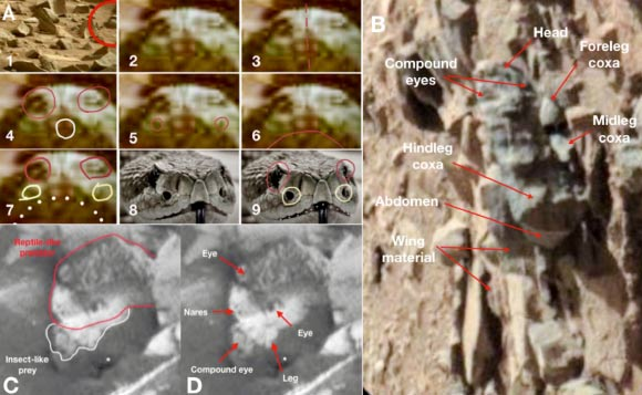 Insect- and reptile-like forms: (A) frontal view of a putative reptile-like fossil compared to a terran snake: (1) frontal view of putative fossil (circled) in a debris field; (2) enlarged frontal view of fossil; (3) midline symmetry indicated; (4) eyes and small oral opening circled; (5) bilateral punctate structures indicated; (6) large, full-gape, oral opening; (7) eyes, lateral punctate structures, and large mouth capable of gaping are indicated; (8) frontal view of Eastern King Snake head; (9) King snake with eyes and bilateral punctuate structures circled; (B) putative fossil insect on its dorsum with head to the top, and with selected structures labeled; (C & D) apparent predatory behavior showing reptile-like creature with insect-like creature in its mouth. Image credit: William Romoser, doi: 10.13140/RG.2.2.12363.95520.