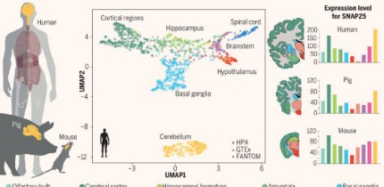Genome-wide transcriptomics analysis of anatomically dissected regions in mammalian brains uncovers regional and species-specific expression: multiple regions of the human, pig, and mouse brain were dissected and analyzed; a uniform manifold approximation and projection (UMAP) analysis (middle) shows the global expression patterns of 1,710 samples in the human brain, with the cerebellum as the outlier; the Human Protein Atlas (HPA) Brain Atlas (right) shows the expression of individual genes, for example, synaptosomal-associated protein 25 (SNAP25), in the different brain regions in the three mammalian species. Image credit: Sjöstedt et al, doi: 10.1126/science.aay5947.