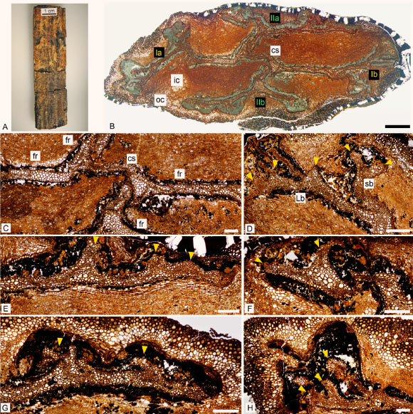 Keraphyton mawsoniae: (A) specimen before preparation; (B) general view of stem showing the 4 rib systems (Ia, Ib, IIa and IIb); (C) central segment and four fundamental ribs; (D) rib system Ib showing a short branch dividing into two equal ultimate ribs at right and a long branch producing at least three long ultimate ribs at left; (E) long branch of rib system IIa producing short ultimate ribs; (F) short branch of rib system IIa dividing into two ultimate ribs; (G) long branch of rib system IIb producing short ultimate ribs; (H) long branch of rib system Ia producing long, but broken, ultimate ribs. Abbreviations: cs – central segment, fr – fundamental rib, ic – inner cortex, oc – outer cortex, Lb – long branch, sb – short branch. Yellow arrowheads indicate ultimate ribs. (DH) are all oriented with the cortex of the axis towards the top of the photo. Scale bars – 500 μm, (B) – 2 mm. Image credit: Champreux et al, doi: 10.7717/peerj.9321