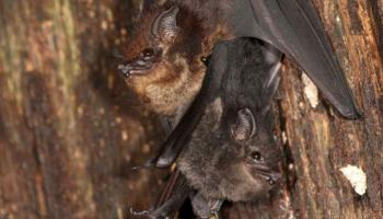 Mother-pup pair of the greater sac-winged bat (Saccopteryx bilineata) in their daytime roost. The pup (dark fur color) is holding on to the mother's belly (light fur color). Image credit: Michael Stifter.