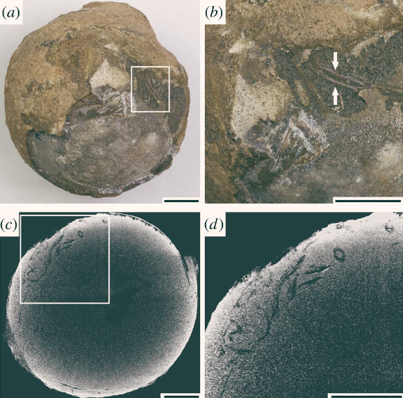 Photographs and CT images of the nanhsiungchelyid egg from the Xiaguan Formation, China: (a) macromorphological photograph; part of its external surface was broken; (b) enlarged image of the white box in (a), showing exposed embryonic bones; (c) CT image showing the interior embryonic bones; (d) enlarged image of the white box in (c), showing a closer up of embryonic remains. Scale bars - 10 mm. Image credit: Ke et al., doi: 10.1098/rspb.2021.1239.