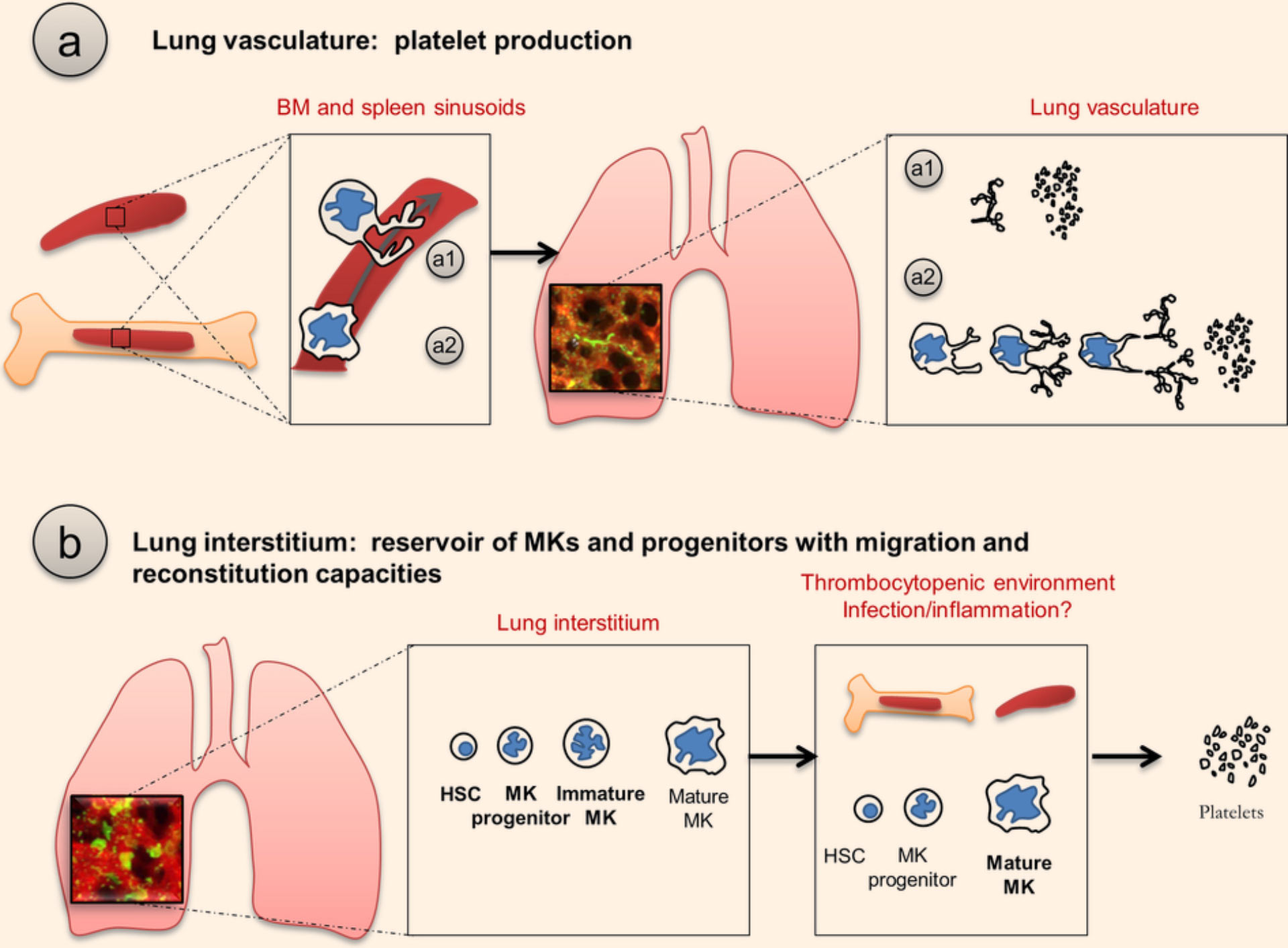 Lungs Play Previously Unknown Role in Blood Production ...