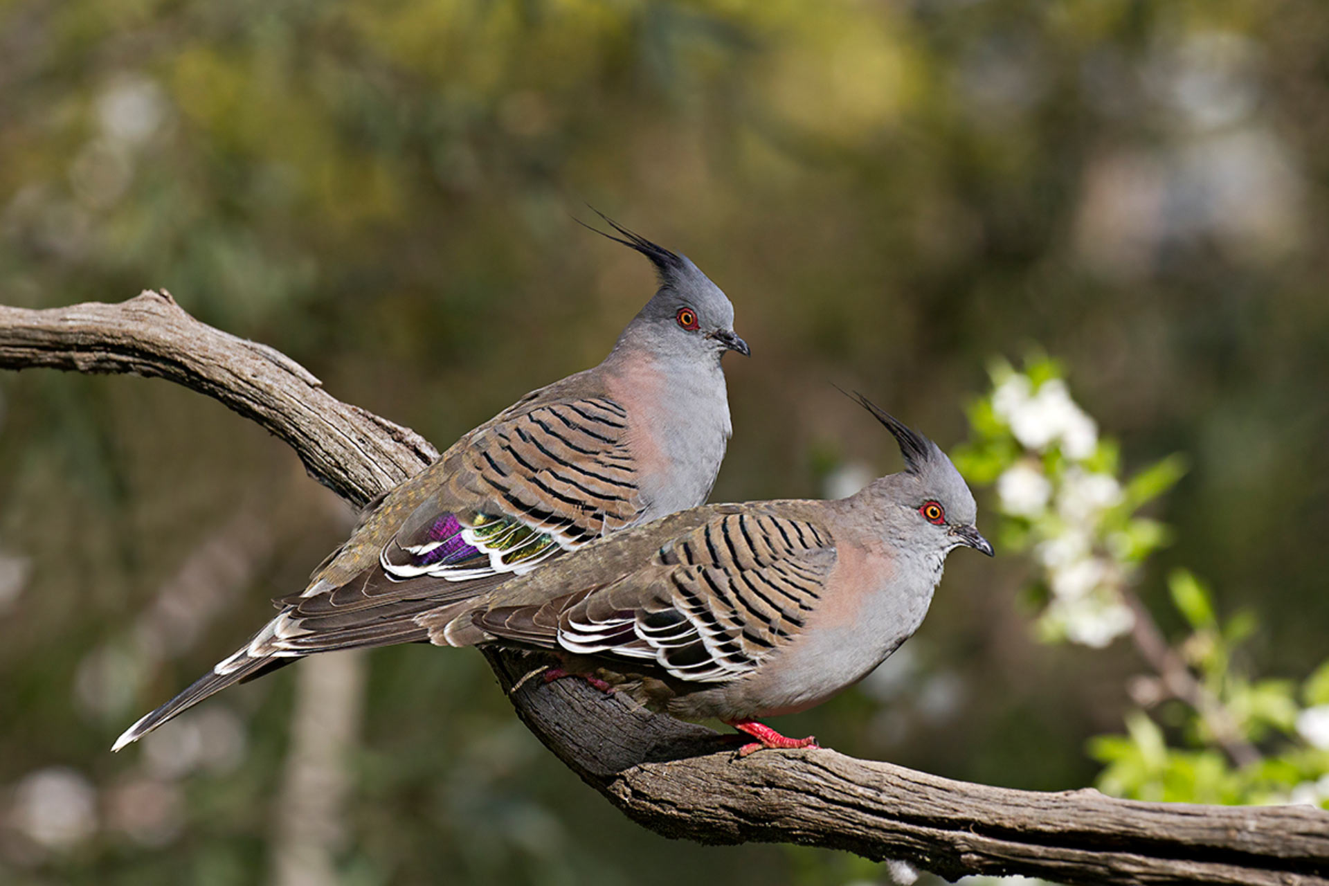 Crested Pigeons Use Specially Modified Wing Feathers To