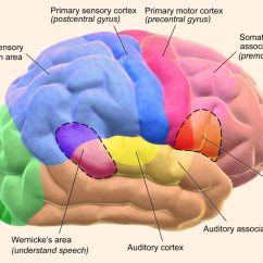 Left Side Brain Functions Diagram Sony Xplod Mex Bt2900 Wiring Study Language Is Learned In Ancient General Purpose