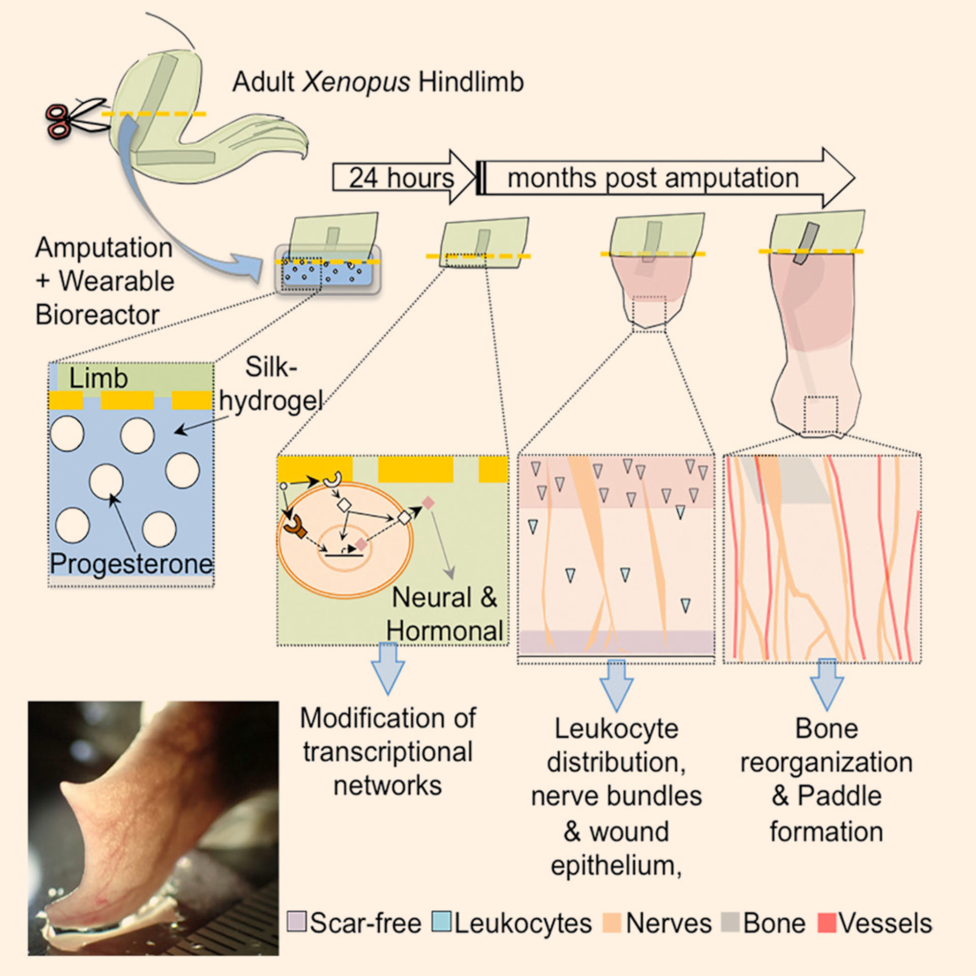 hight resolution of adult african clawed frogs xenopus laevis are capable of induced increased regenerative response