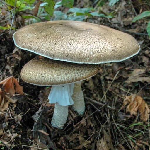 ganoderma oregonense culture fungi