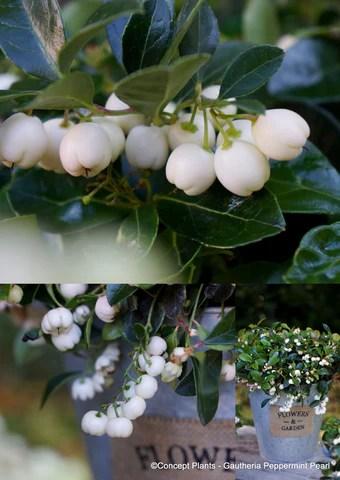 Gaultheria 'Gaulthier Pearl'