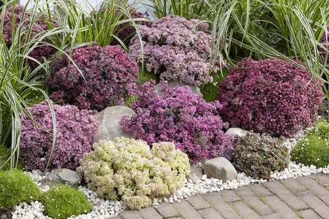 Sedum Sunsparkler collection