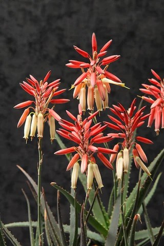 Aloe 'Safari Sunrise'