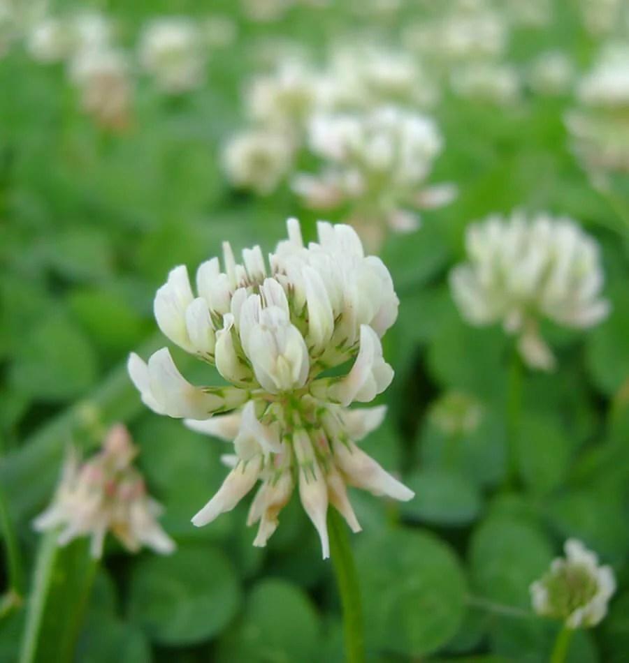 White Dutch Clover Cover Crop Seeds West Coast Seeds