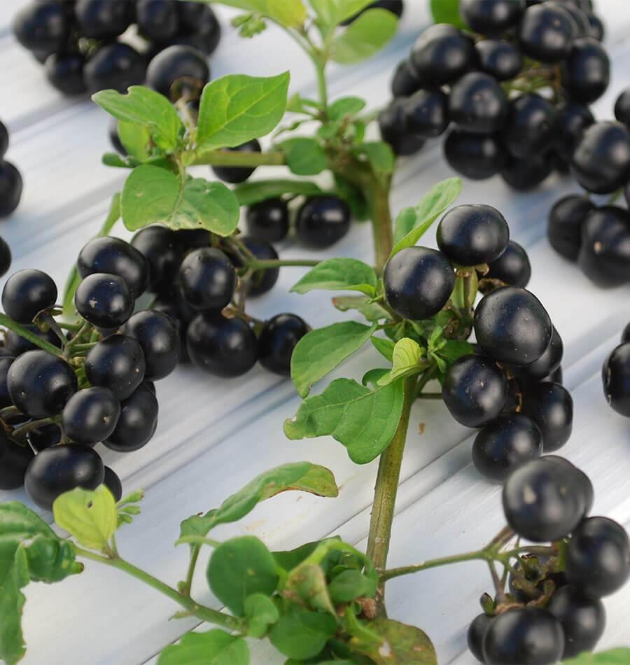 Garden Huckleberry Seeds For Organic Growing West Coast Seeds