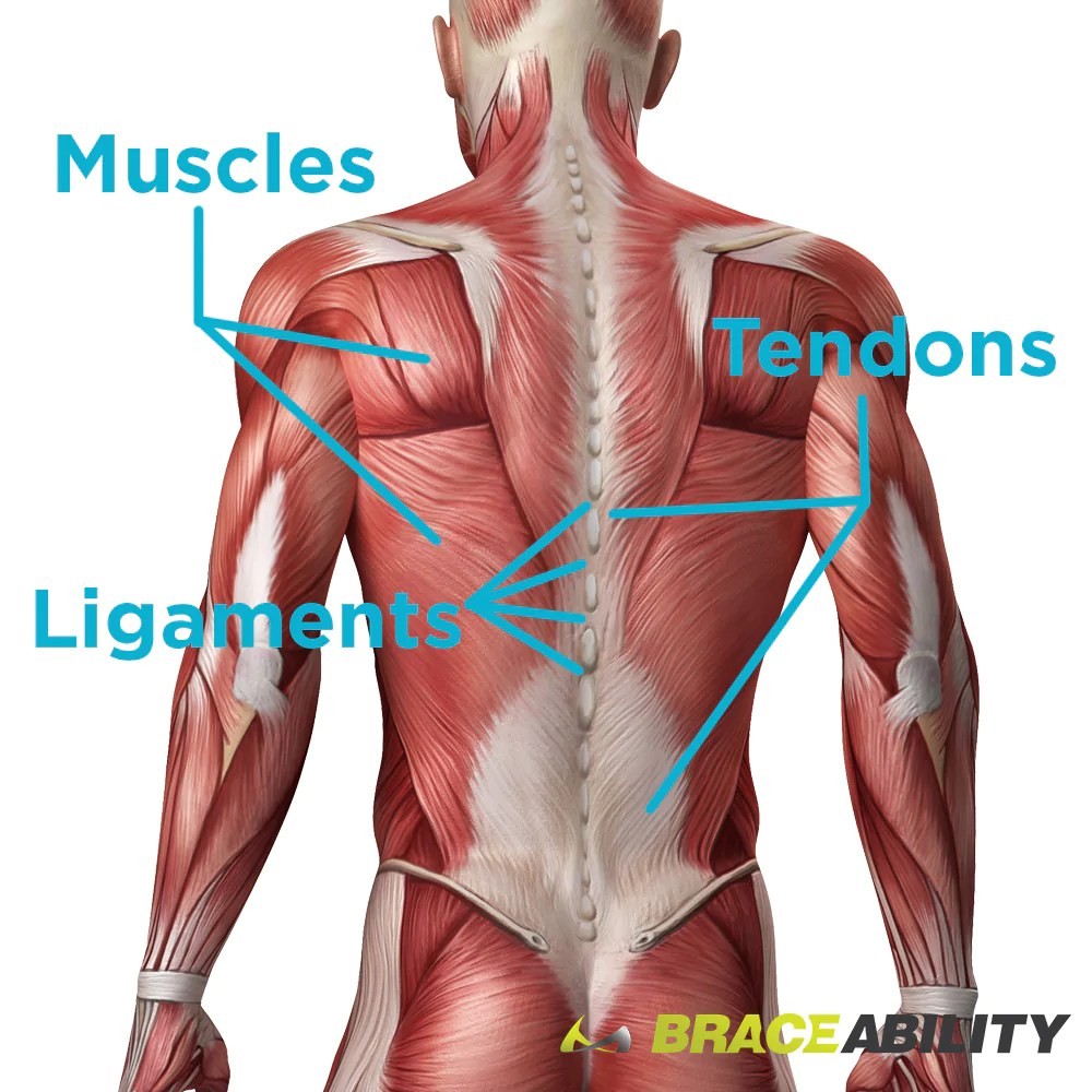 hight resolution of location of muscles ligaments and tendons in your back and hips