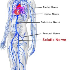 Nerves In Neck And Shoulder Diagram Ultrasonic Movement Detector Circuit Sciatica Pinched Nerve Pain Symptoms Causes Lower Back Treatment The Human Body Labeled
