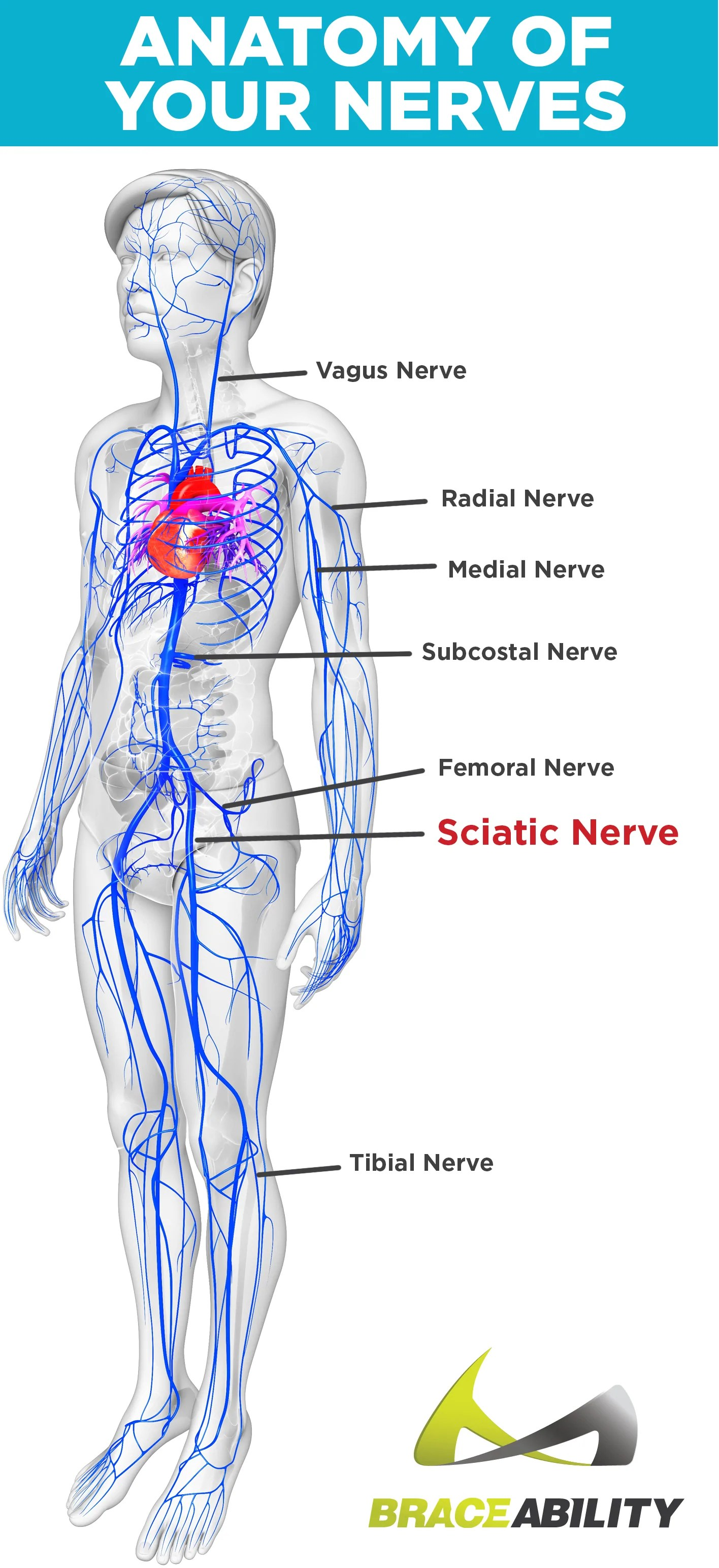 medium resolution of nerves in the the human body labeled
