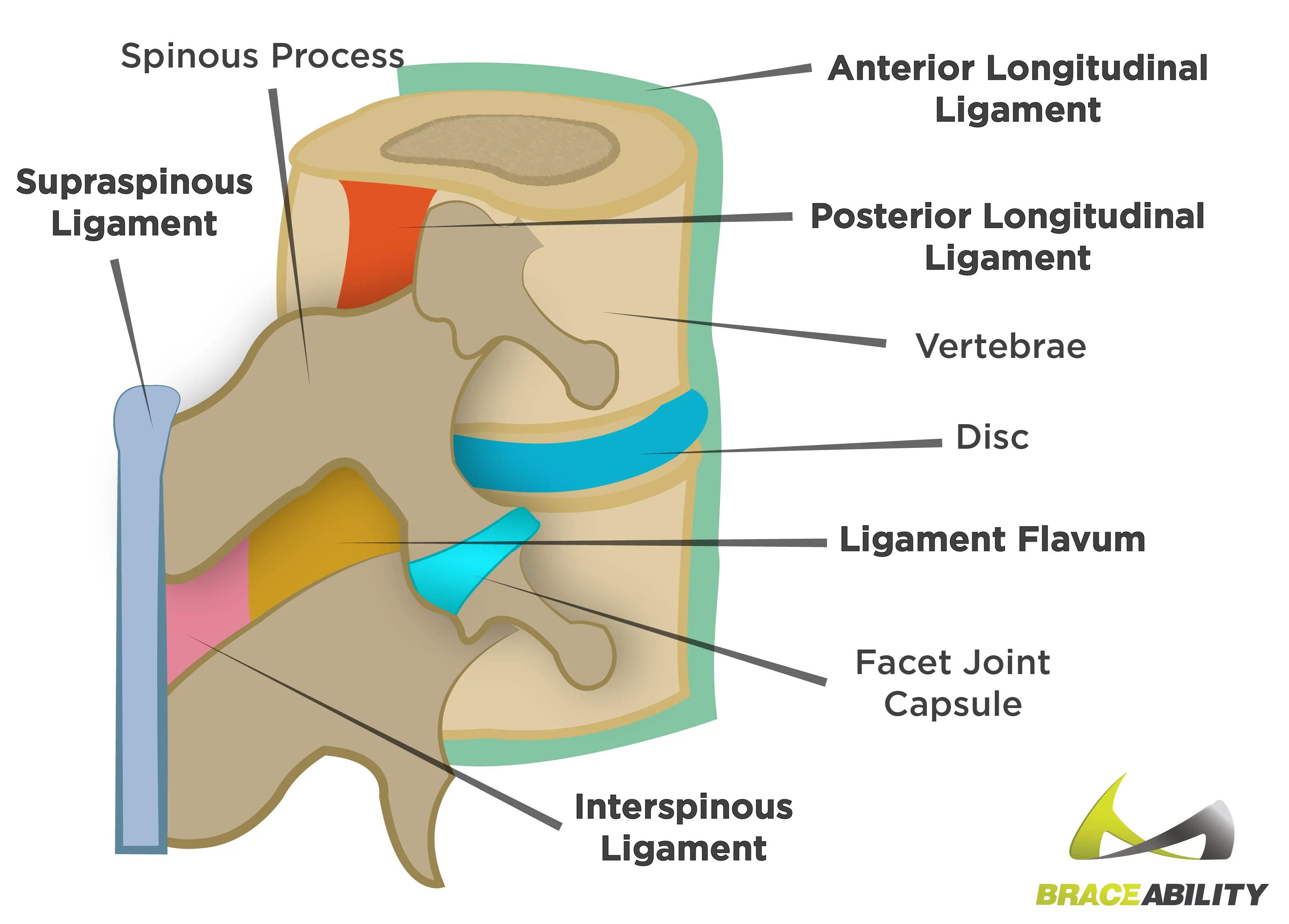 hight resolution of anatomy of the ligaments in your spine and what they do
