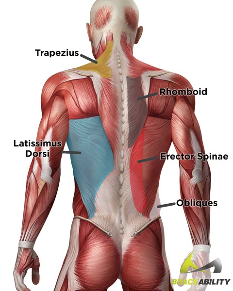 Name Of Lower Back Muscles : lower, muscles, Torn,, Pulled, Strained, Muscles, Didn't, Know!