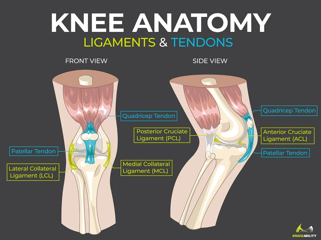 learn about knee anatomy including different ligaments and tendons [ 1024 x 768 Pixel ]