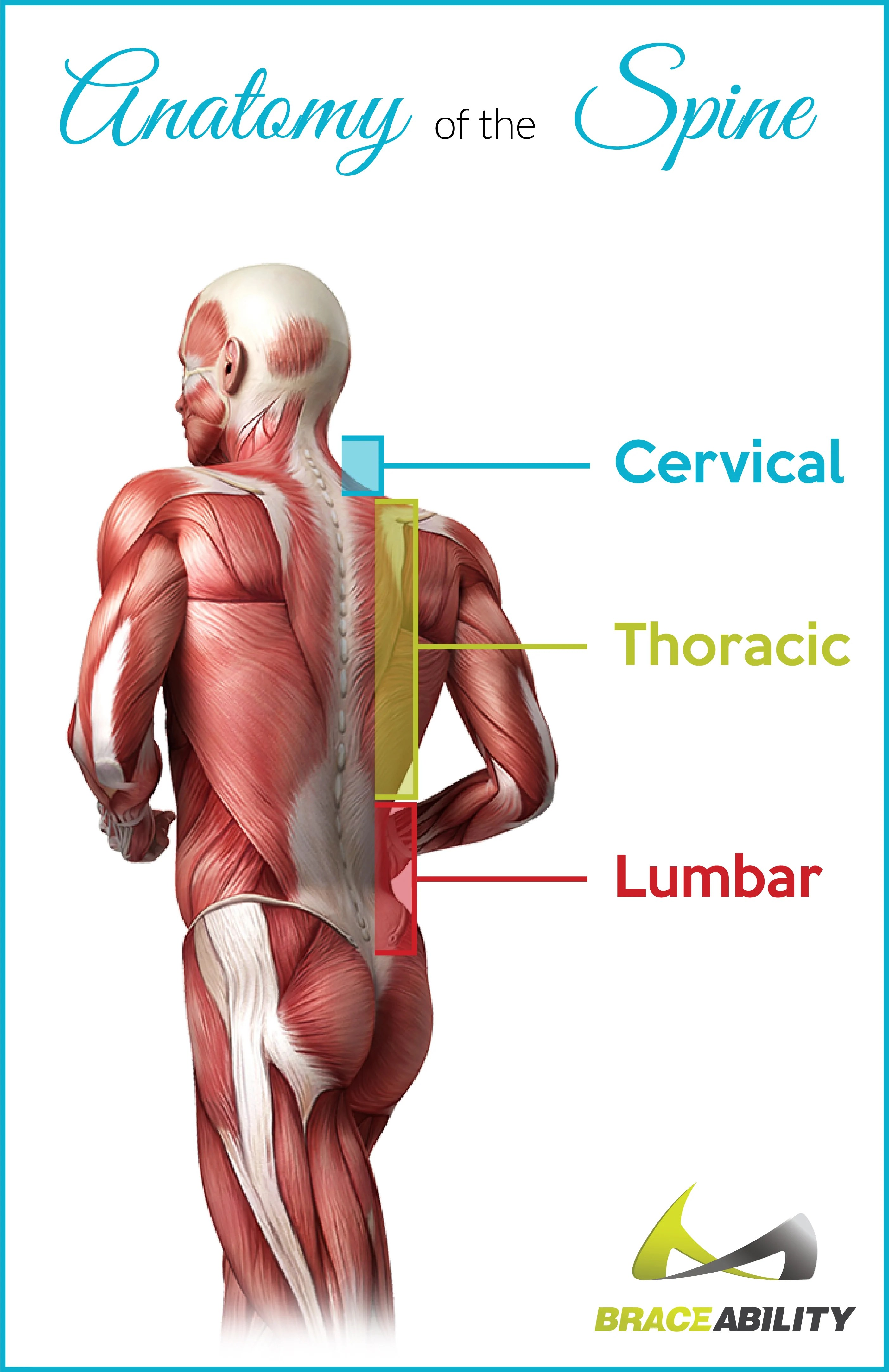 small resolution of information on the thoracic back or spine