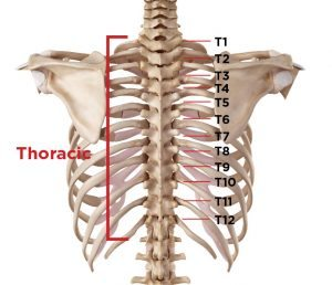 diagram of rib cage and muscles true refrigeration wiring what type vertebrae spine pain do i have?