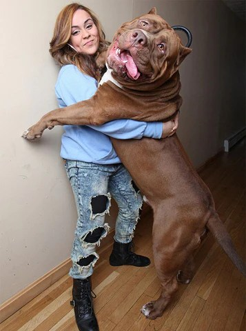 Hulk Puppies Price : puppies, price, American, Bully/, Pitbull, Kennels, Aretedogsupply.com