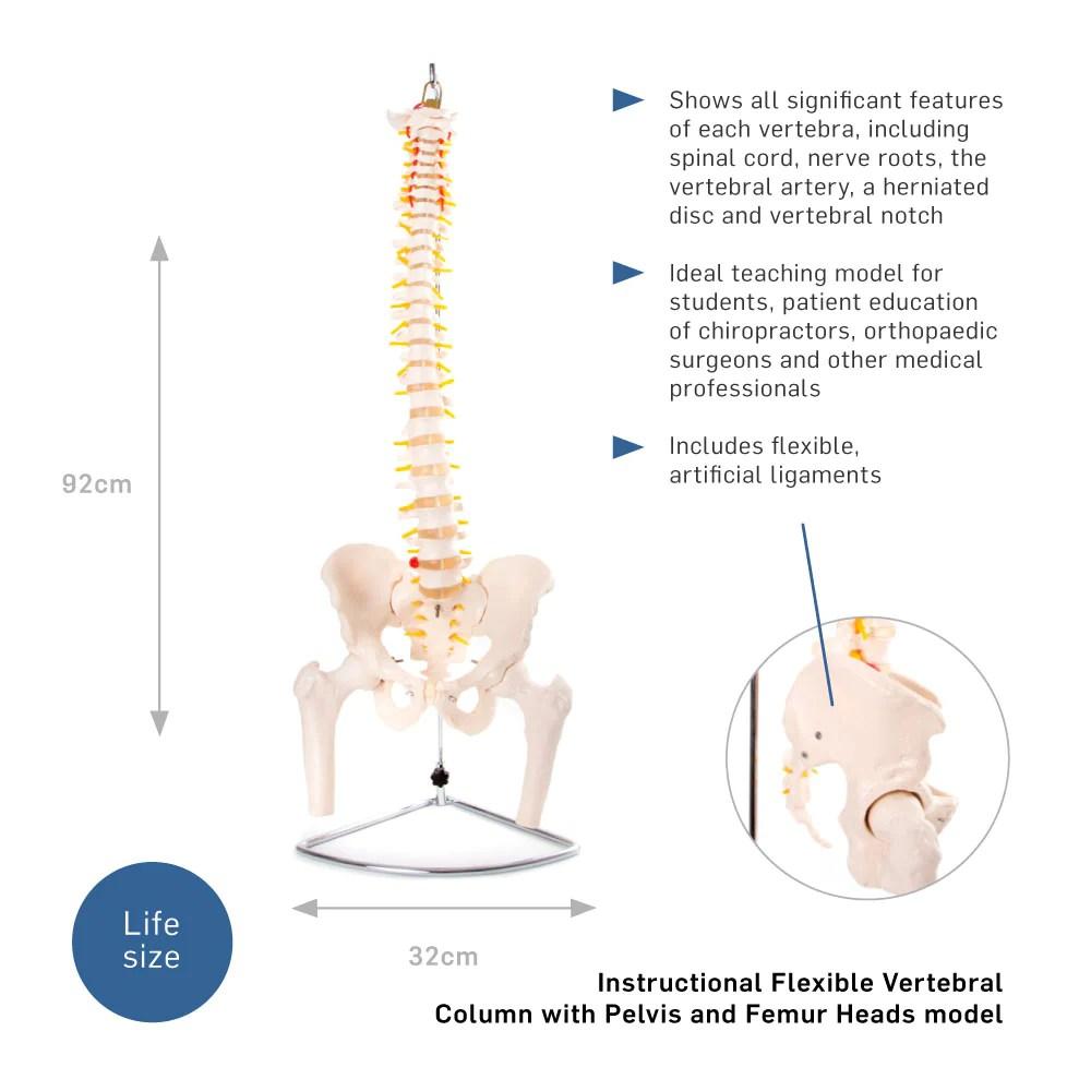 medium resolution of  66fit anatomical flexible vertebral column with pelvis femur heads