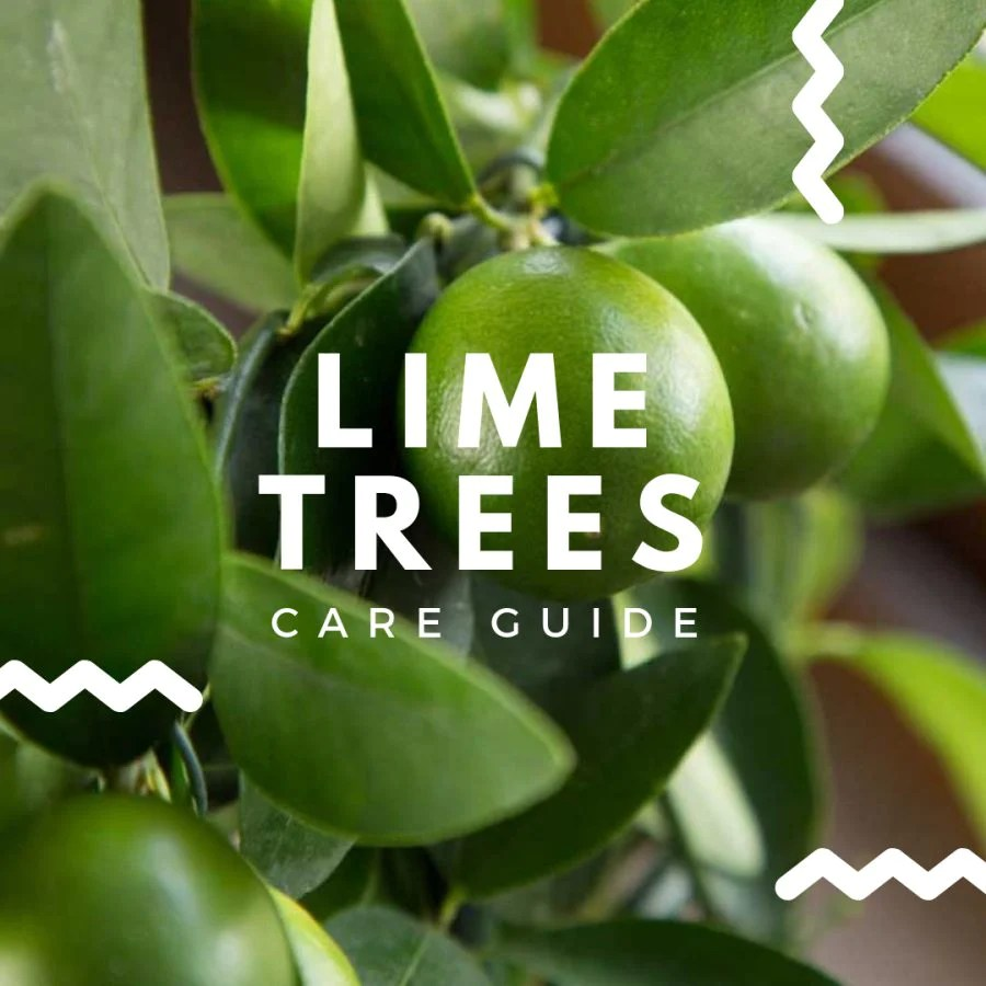 lime tree care guide how to care for