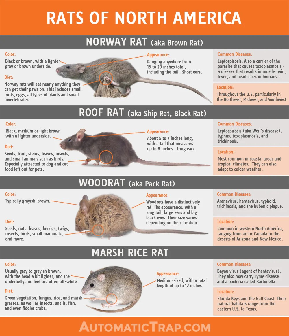 Rats | Types Of Rats In North America | Automatic Trap Company