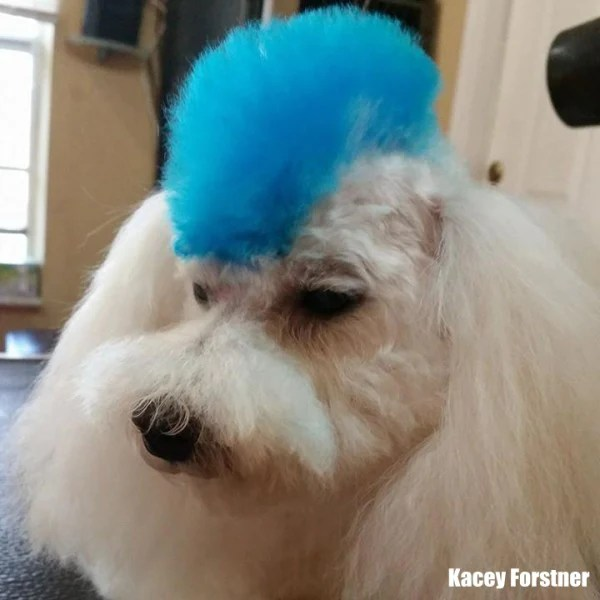 innocent blue dog hair dye opawz
