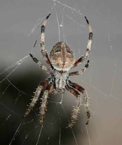Orb spider in Kansas