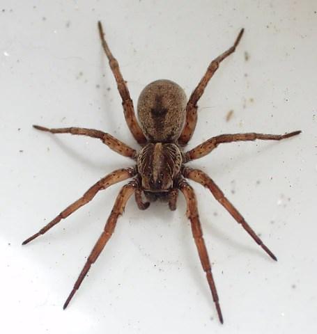 Wolf spider in Kansas