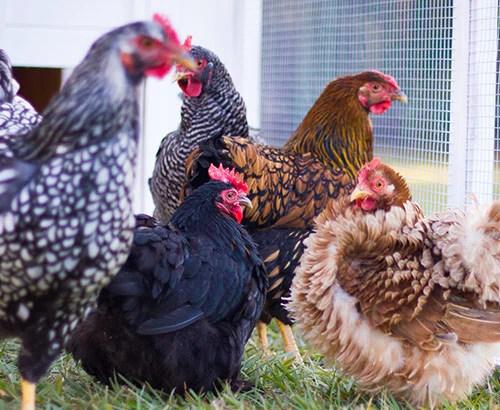 Top 20 Chicken Breeds For Your Backyard Coop