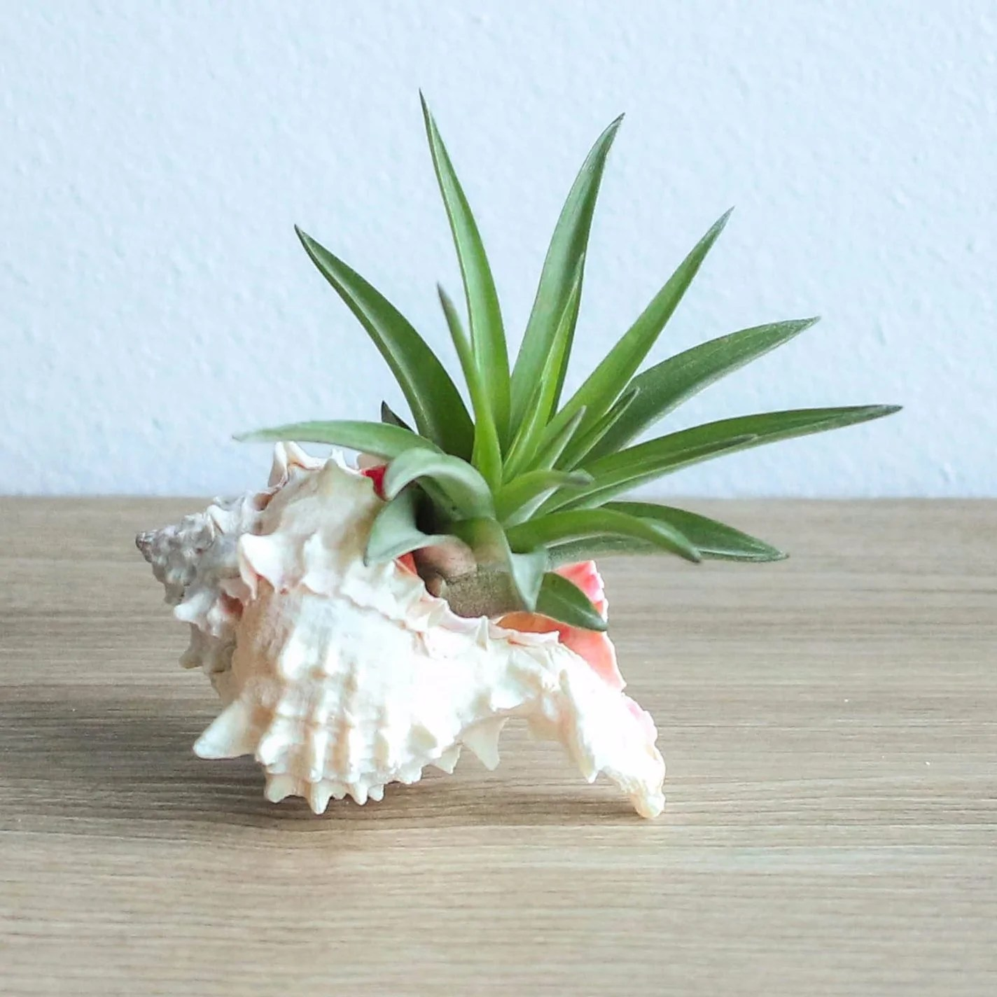 pink murex seashell with