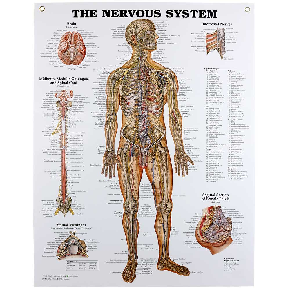 hight resolution of nervous system chart