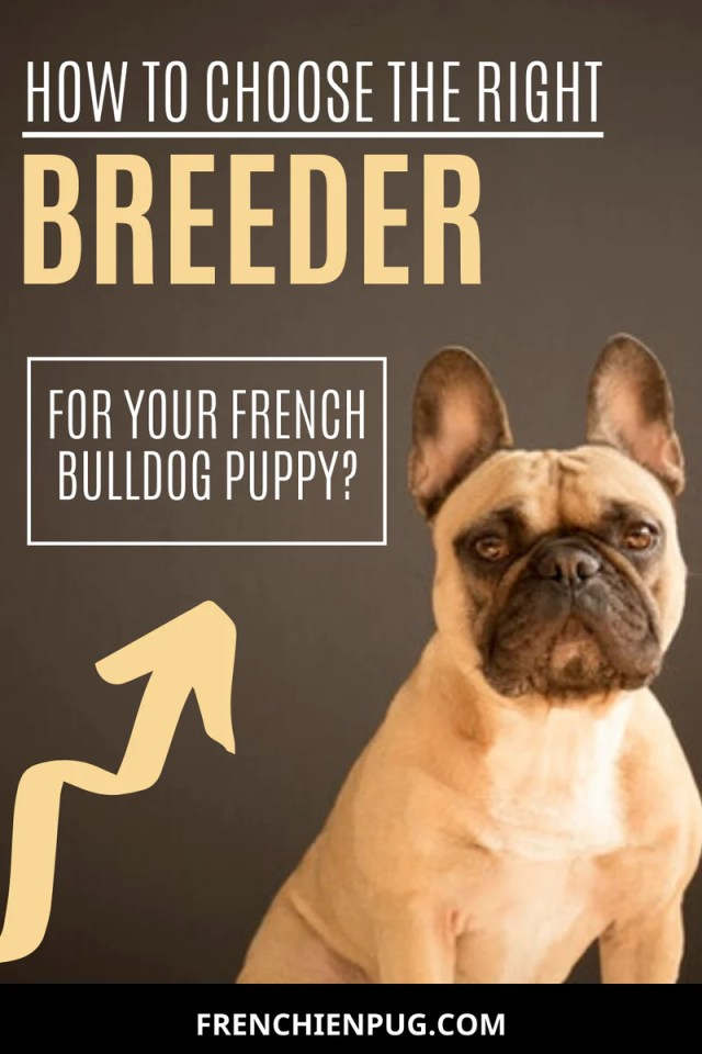 how to choose the right breeder for your french bulldog puppy?