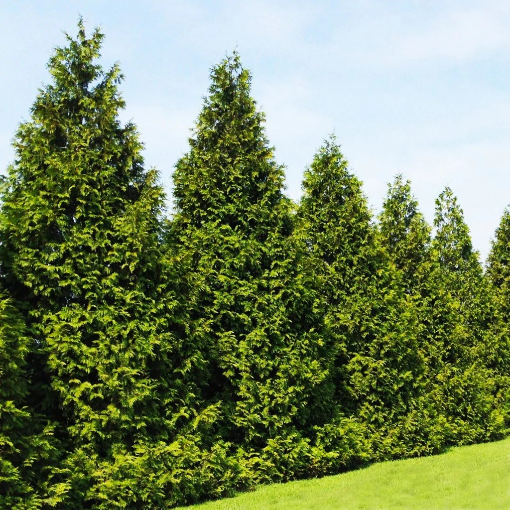 fastest growing trees for privacy