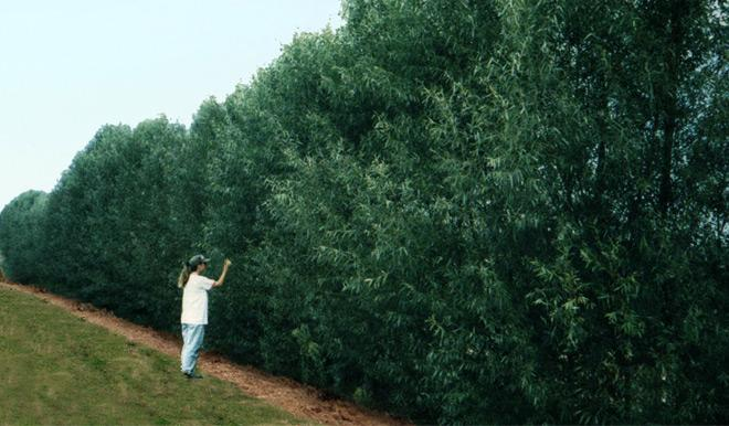Willow Hybrids A Quick Care Guide  FastGrowingTreescom